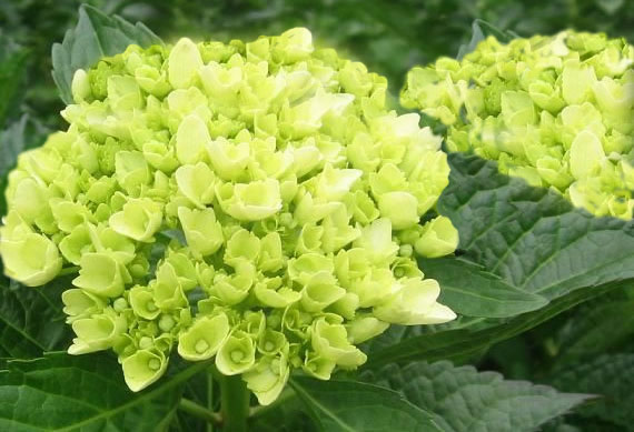 Help Obsessed With Green Hydrangea